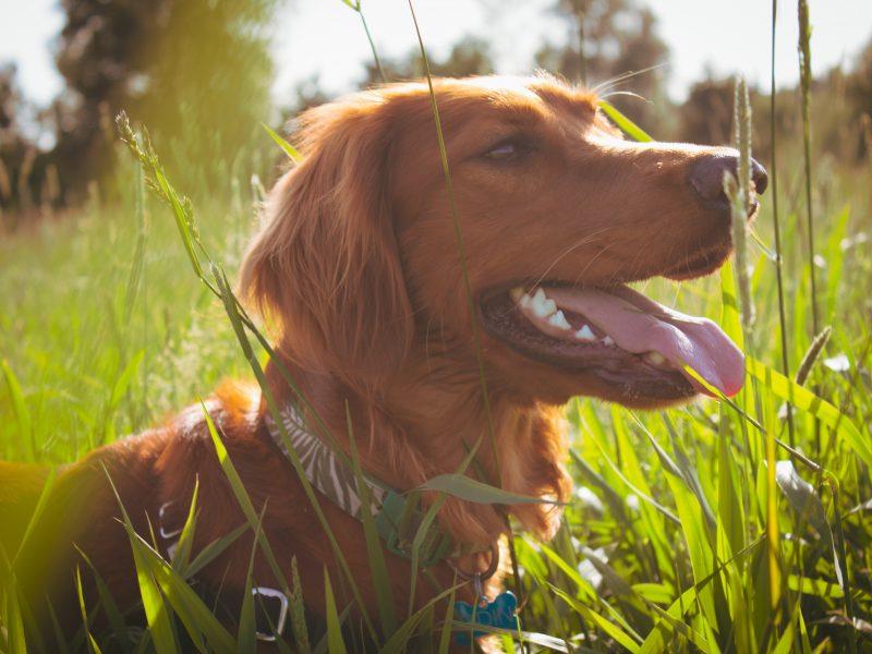 dog-in-field